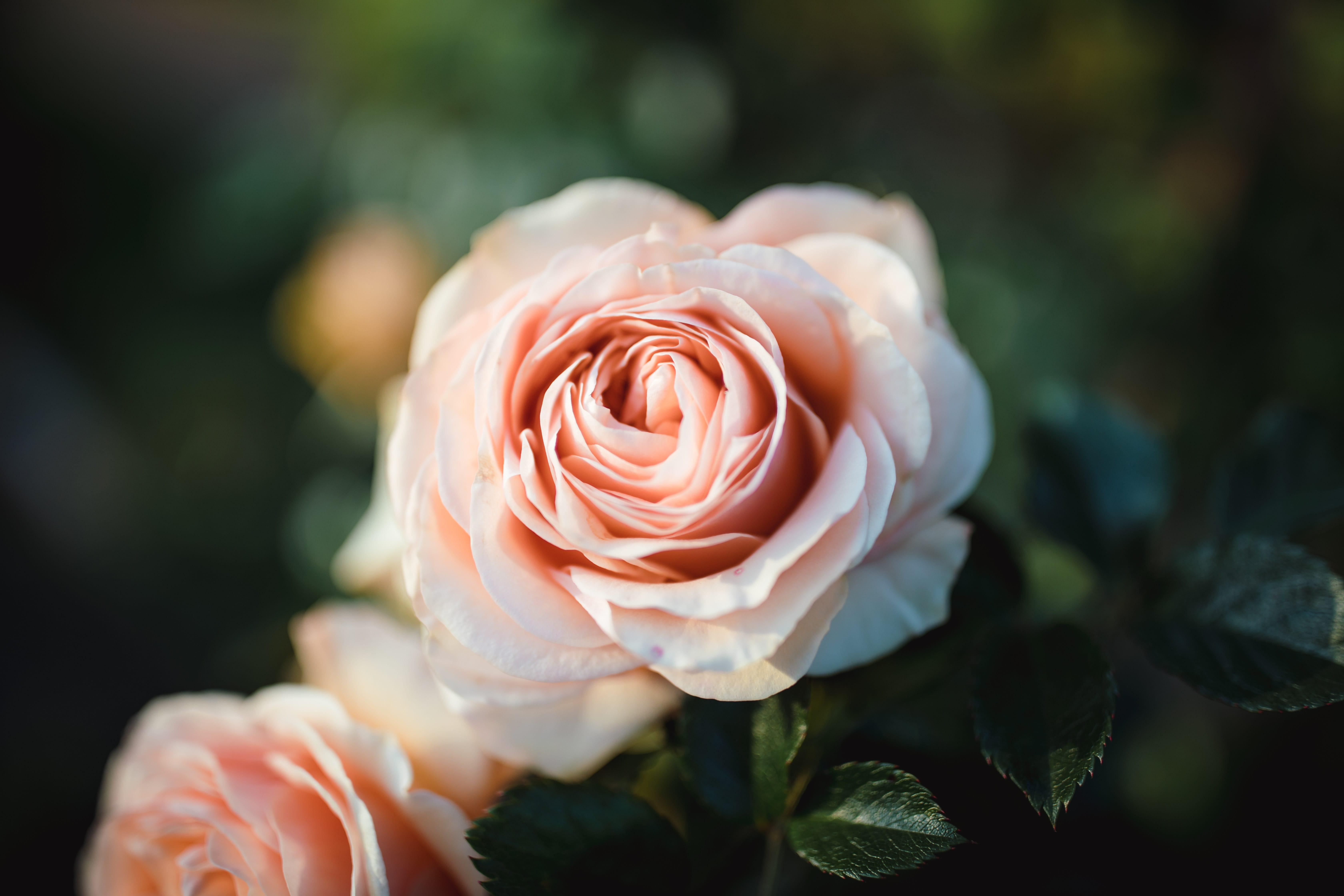 Samo je jedna ruža – ruža za majčin dan